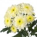 Хризантема кустовая кремовая (Zembla krem)