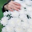 Букет из 25 белых хризантем заказать