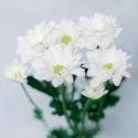 Хризантема кустовая белая (Bacardi)