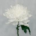 Хризантема белая (Antonov)