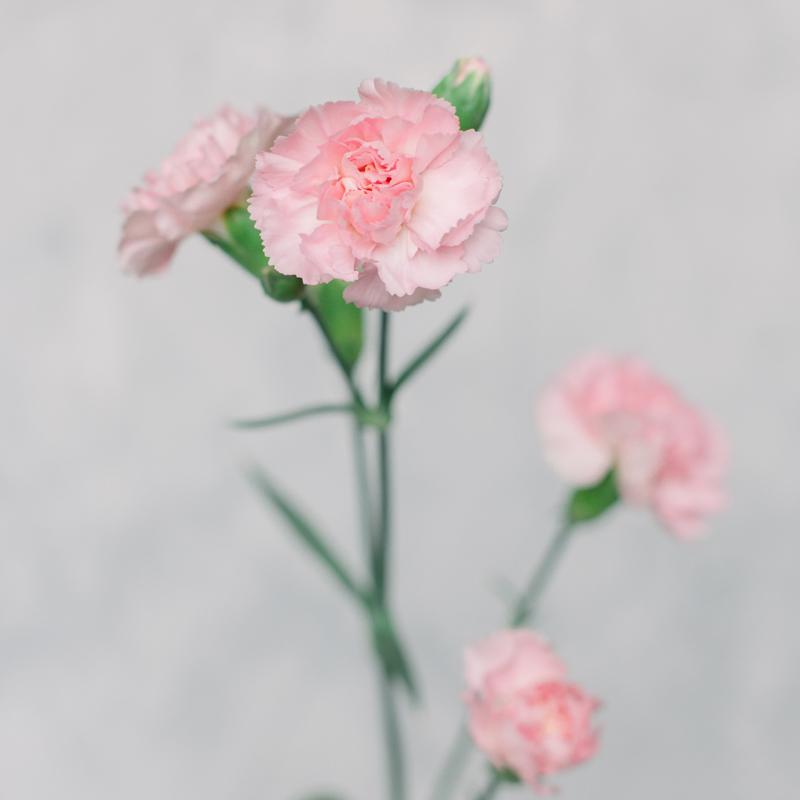 Гвоздика кустовая розовая с доставкой