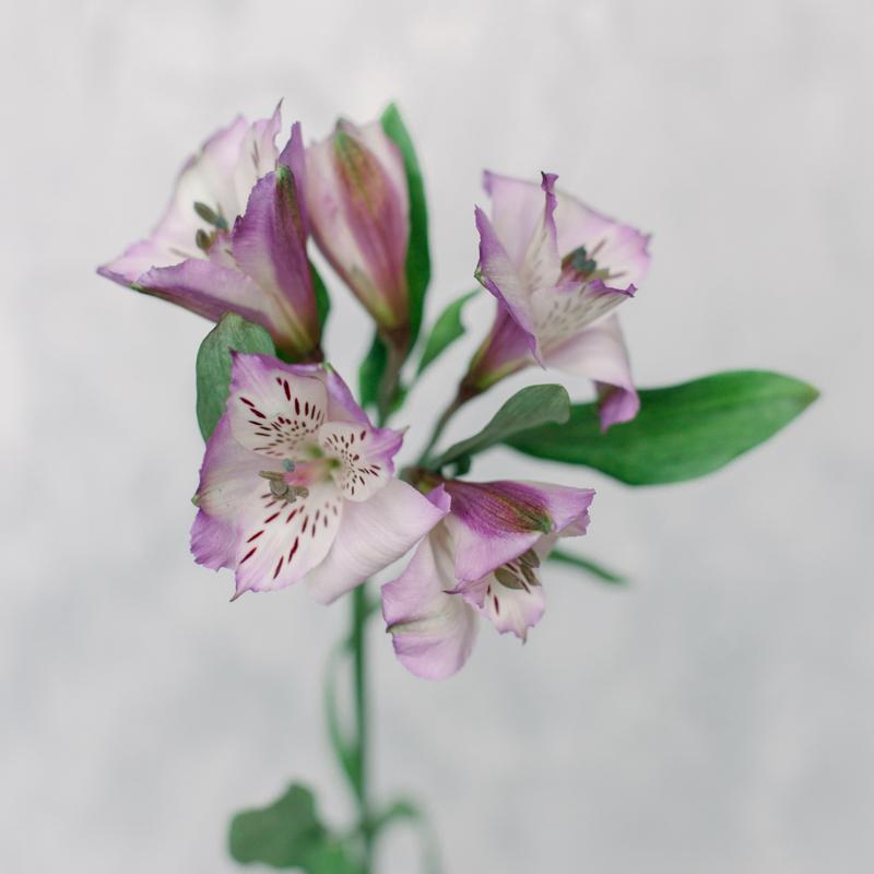 Альстромерия бело-розовая с доставкой