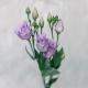 Лизиантус фиолетовый