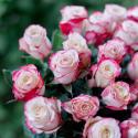 Букет из 25 роз Sweetness 70 см (Эквадор) купить