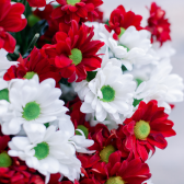 Букет из 15 кустовых красных и белых хризантем заказать