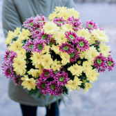 Букет из 15 желтых и малиновых кустовых хризантем
