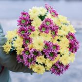 Букет из 15 желтых и малиновых кустовых хризантем заказать