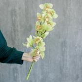 Орхидея Цимбидиум зеленая купить