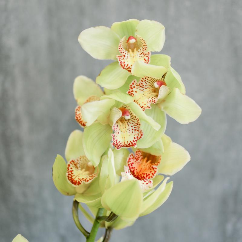 Орхидея Цимбидиум зеленая с доставкой