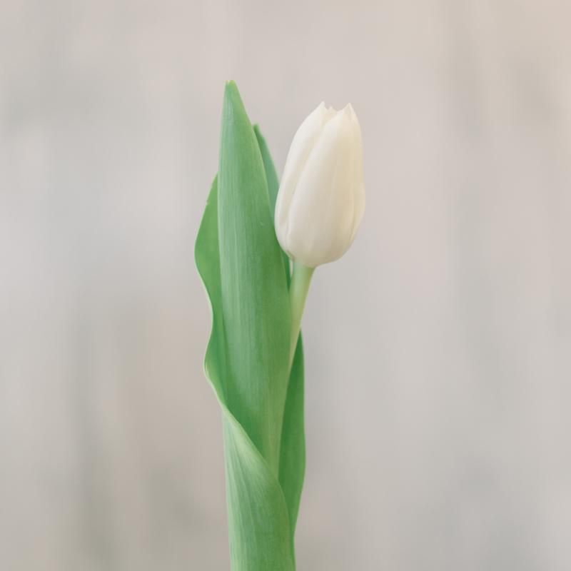 Тюльпан белый с доставкой