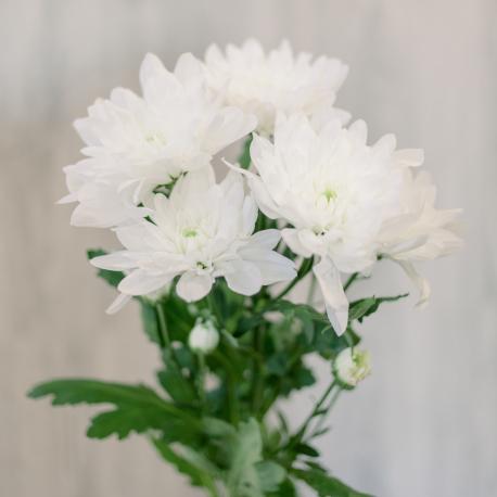 Хризантема кустовая белая (Baltika)