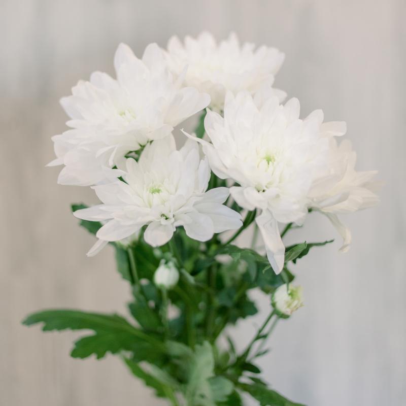 Хризантема кустовая белая (Baltika) с доставкой