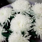 Букет из 7 одноголовых хризантем заказать