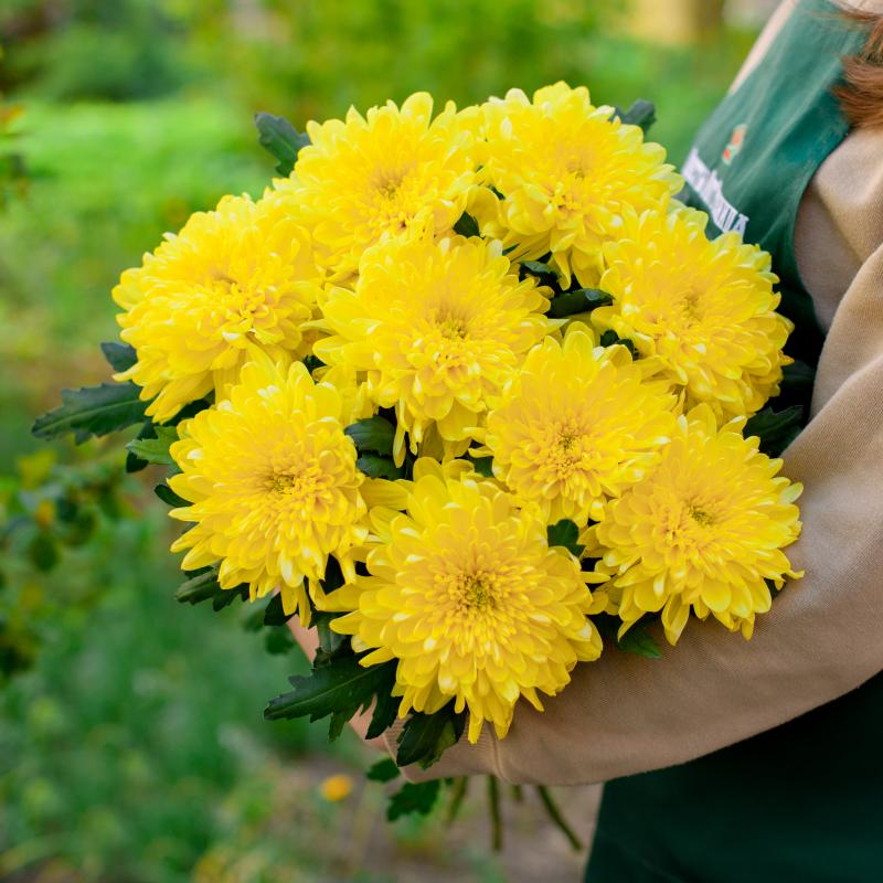 Букет из 9 жёлтых хризантем с доставкой