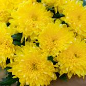 Букет из 9 жёлтых хризантем купить