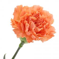 Гвоздика оранжевая