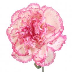 Гвоздика розово-белая