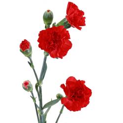 Гвоздика кустовая красная