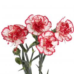 Гвоздика кустовая бело-розовая