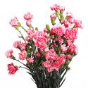 Гвоздика кустовая бело-розовая заказать