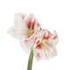 Амариллис бело-красный