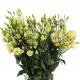 Лизиантус зеленый