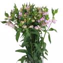 Альстромерия розовая купить
