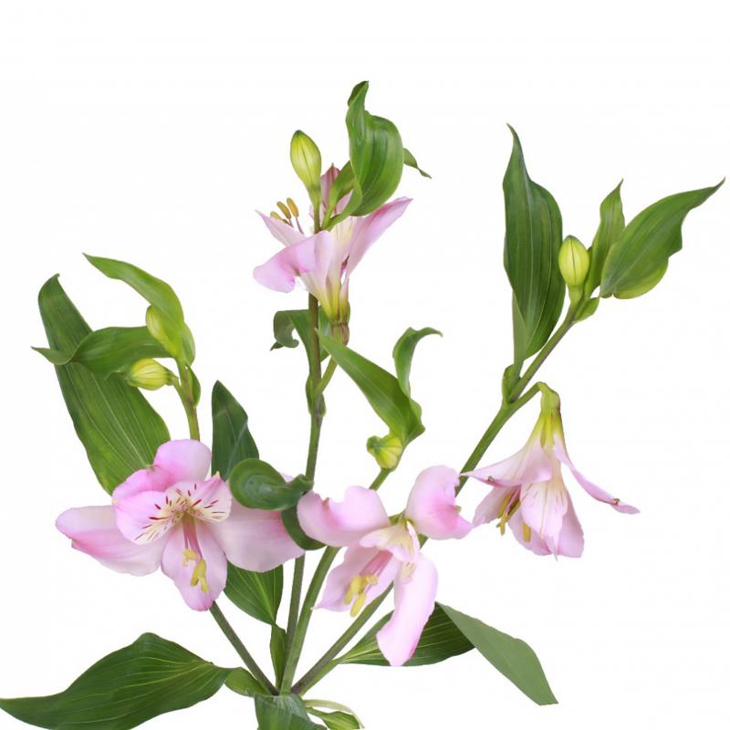 Альстромерия розовая с доставкой