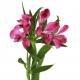Альстромерия ярко-розовая