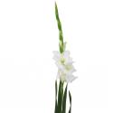 Гладиолус белый
