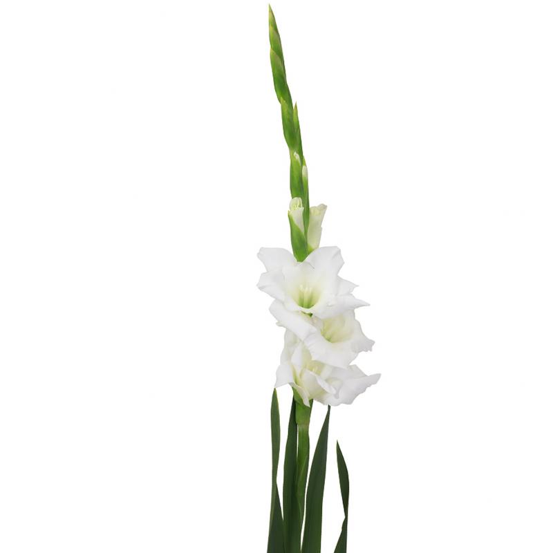 Гладиолус белый с доставкой