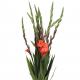 Гладиолус красный