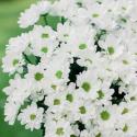 Букет из 15 белых хризантем заказать