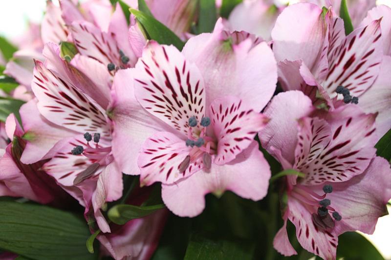 Что за цветок «Альстромерия»