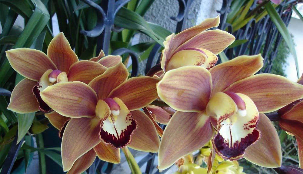 Что вы знаете об орхидеях цимбидиум?